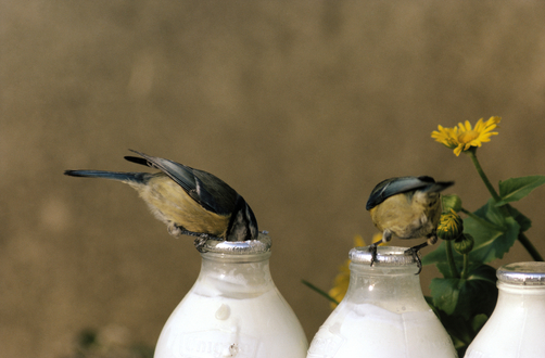 blue-tit-drinking-milk.jpg