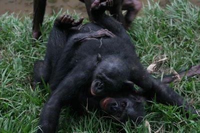 bonobo-face-to-face.jpg