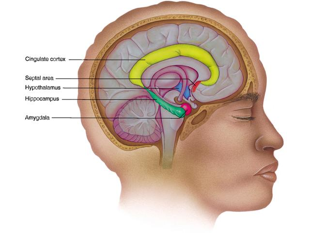 brain_limbic.jpg