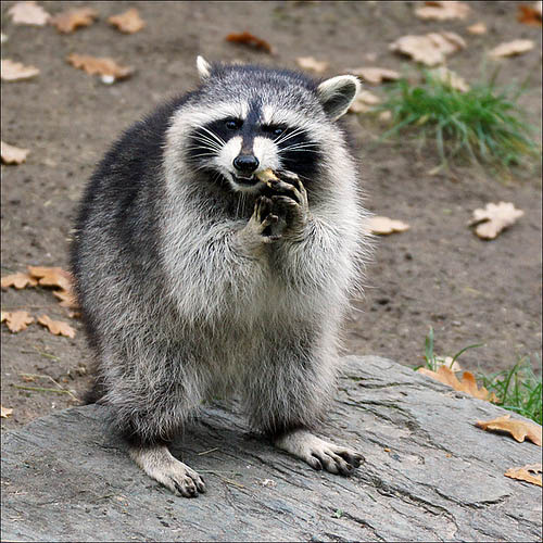 raccoon.jpg