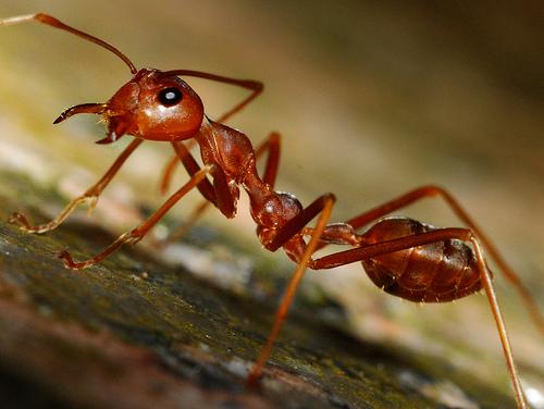 red_ant.jpg